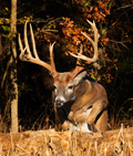 Whitetail Deer Picture